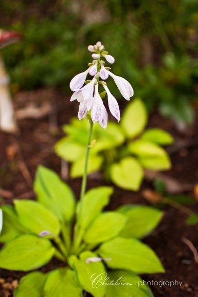 Hosta Blossom