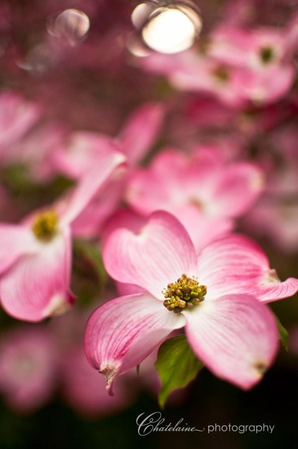 Pink Dogwood, my favorite