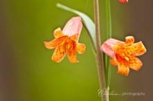 Wild Tiger Lilies