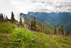 Lupine on Hurricane Ridge