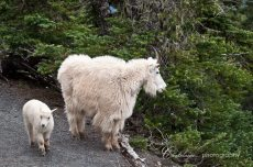 Mama Mountain Goat with Her Kid