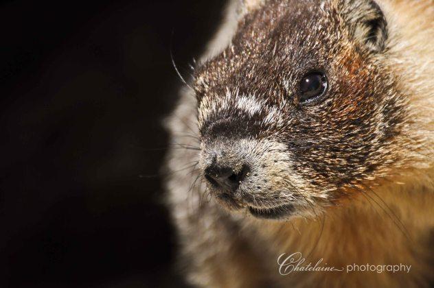 Marmot on top of Half Dome