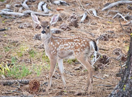 Black-tail Deer fawn